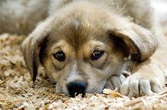 husky puppy Στοκ Εικόνες