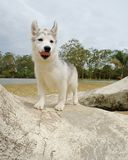 Husky puppy Stock Photos