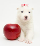 Husky puppy with apple Royalty Free Stock Photos