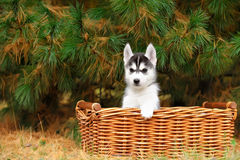 Husky puppy in a basket Royalty Free Stock Images