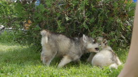 Husky puppy bites other puppy under a bush stock video