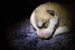 Husky puppy. On a black background Stock Photo