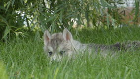 Husky puppy with a blue eyes lies on a grass stock video footage