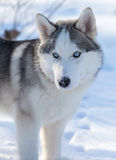 Husky puppy with blue eyes outdoors Royalty Free Stock Photos