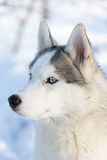 Husky puppy with blue eyes outdoors Stock Photography