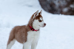 Husky puppy with blue eyes on the snow Stock Photography
