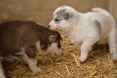 Husky Puppy branco e marrom fotografia de stock