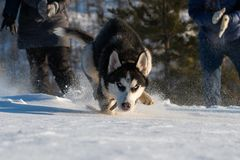A husky puppy with brutal blue-eyed running straight at the photographer stock image