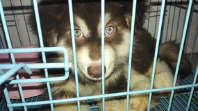 Husky puppy in the cage royalty free stock image