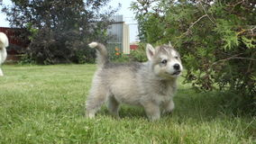 Husky puppy chews a bush and goes to the camera stock footage
