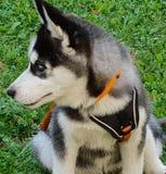 Husky puppy. Curious husky puppy stock photo