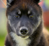 Husky puppy Stock Photography