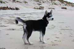 Husky puppy Demon Stock Image