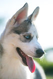 Husky puppy dog Stock Photo