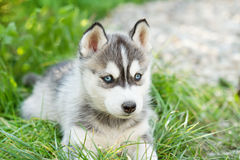 Husky puppy dog Royalty Free Stock Photo