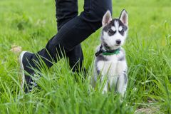 Husky puppy dog sits next to the owner`s foots. Grass, nature stock photography