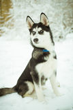 Husky puppy dog on snow Royalty Free Stock Images