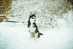 Husky puppy dog on snow. In winter stock photography