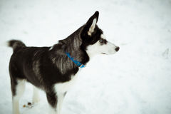 Husky puppy dog on snow Royalty Free Stock Photo