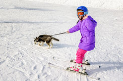 Husky puppy dragging little girl on the snow skiing.  royalty free stock images