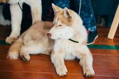 Husky Puppy Eskimo Dog feliz joven foto de archivo