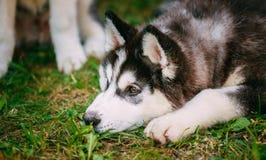 Husky Puppy Eskimo Dog joven triste Fotos de archivo