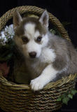 Husky puppy in a flower basket Royalty Free Stock Photography