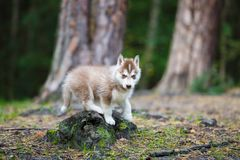 Husky puppy in a forest. Husky puppy in a wild coniferous forest stock photo