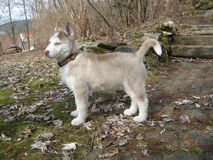 Husky Puppy in Garden Royalty Free Stock Images