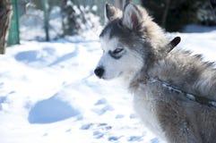 Husky puppy, gray, SIBERIAN, play, dog, blue eyes, fluffy Royalty Free Stock Image