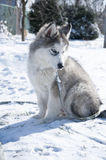 Husky puppy, gray, SIBERIAN, play, dog, blue eyes, fluffy Stock Image