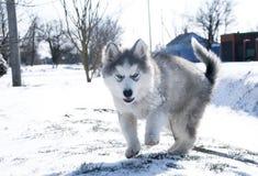 Husky puppy, gray, SIBERIAN, play, dog, blue eyes, fluffy Royalty Free Stock Photography