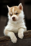 Husky puppy. Headshot of a light color puppy husky dog leaning on and old piece of wood in front of a dard natural background Stock Photography