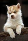 Husky puppy Stock Photography