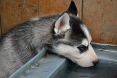 Husky Puppy-het drinken Royalty-vrije Stock Foto's