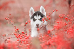 The husky puppy is hiding Stock Photography