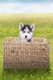 Husky puppy inside the box on meadow Stock Photo