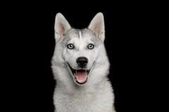 Husky Puppy Isolated su fondo nero immagini stock libere da diritti