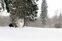 The husky puppy laying in snow Royalty Free Stock Photo