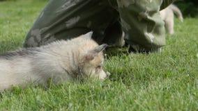 Husky puppy lies near a male on a grass stock video footage