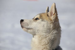 Husky puppy Royalty Free Stock Photography