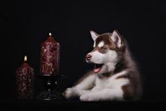 The husky puppy lying Royalty Free Stock Photo