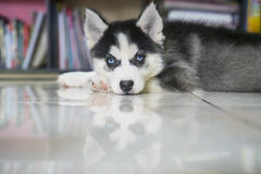 Husky puppy lying down on the floor Royalty Free Stock Image