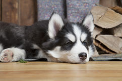 Husky puppy lying on the floor Royalty Free Stock Photos