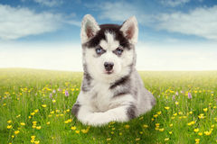 Husky puppy lying on meadow Royalty Free Stock Images