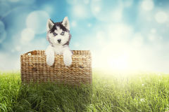 Husky puppy lying in the wicker basket. Portrait of a cute husky puppy lying in the wicker basket while looking at the camera with a blue light glitter in the Stock Photo
