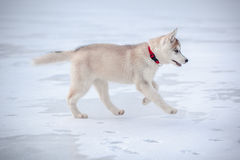Husky Puppy 3 months Stock Image