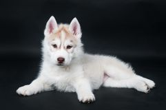 Husky puppy over black Stock Images