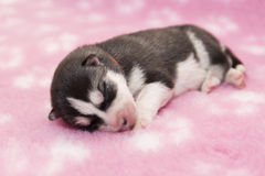 Husky puppy Royalty Free Stock Image