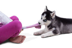 Husky puppy playing a sock Stock Photo